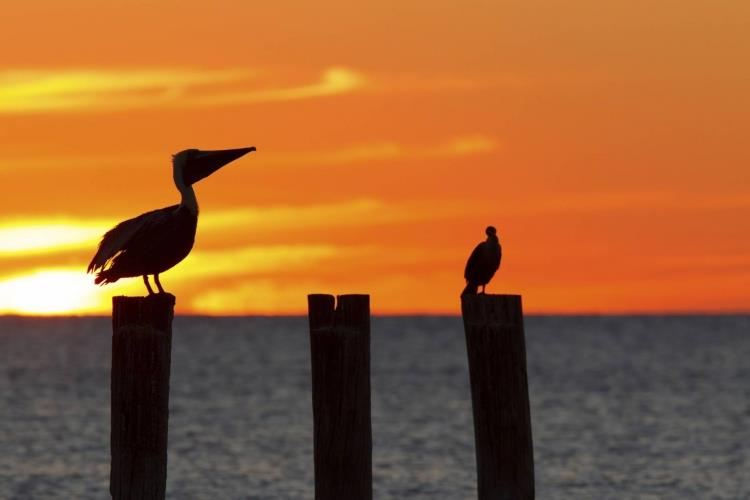 USA_Florida_Fort_Myers_Beach_pelikanen_zonsondergang