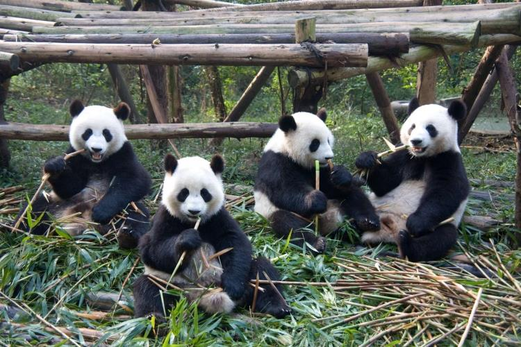China_Chengdu_Chengdu_Research_Base_of_Giant_Panda_Breeding_panda