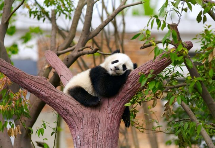 China_Chengdu_Chengdu_Research_Base_of_Giant_Panda_Breeding_slapende_panda.jpg
