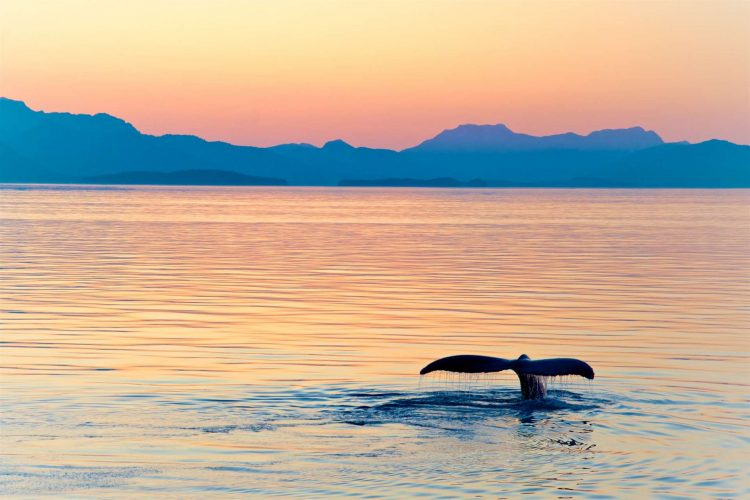 USA_Alaska_staart_walvis_sunset