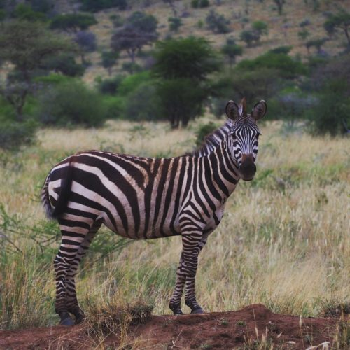 Tanzanzia_Serengeti-National-Park-Zebra-Paul-juni2019